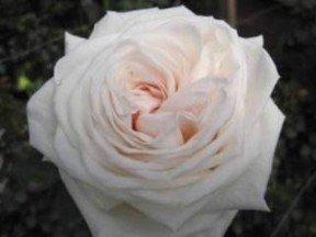 Garden Rose O'Hara White 72 Roses