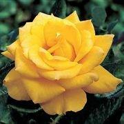 10 Henry Fonda Rose Seeds