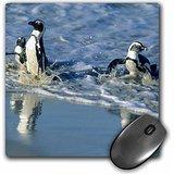 danita-delimont-penguins-african-penguin-cape-peninsula-south-africa-af42-ksc0011-kevin-schafer-mous
