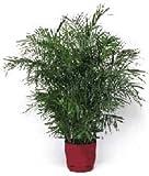 15 Bamboo