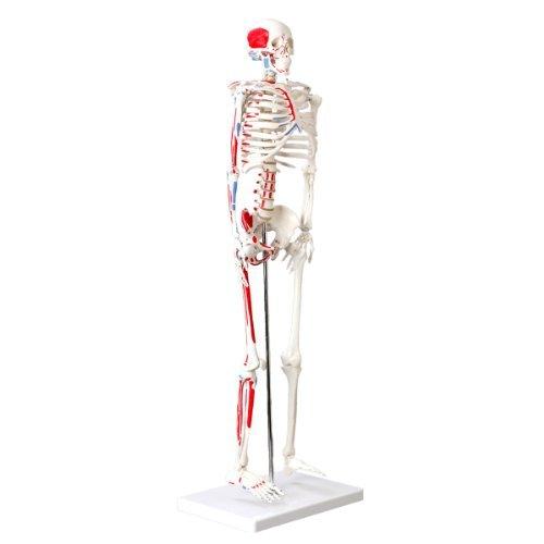 s241182-modello-di-scheletro-umano-modello-muscolare-e-marcatore-osseo-85cm