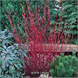 BM Plants Cornus alba 'Aurea' , 3L , Gold leaved dogwood , Shrub