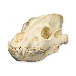 Amazon.com: Brown Hyena Skull (Teaching Quality Replica