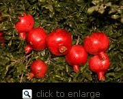 Angel Red Pomegranate Tree, Five Gallon Container