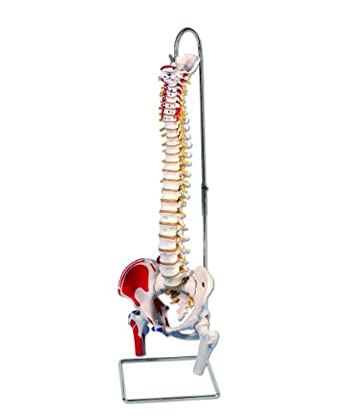 "3B Scientific A58/3 Classic Flexible Spine Model with Femur Heads and Painted Muscles, 32.7"" Height"