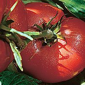 Organic Arkansas Traveler Tomato - 50 Seeds