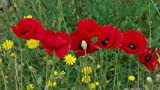 *Seeds and Things Papaver Rhoeas (5000 Red Poppy Seeds) - Bulk Wildflower Seeds