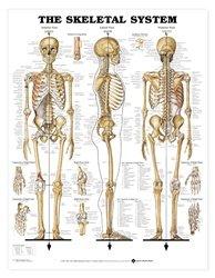 Skeletal System 3D Raised Relief Chart - Item #: 9781587790652