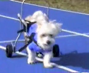 Snowy Cycle - Rehabilitive Cycle - Wheelchair for Disabled Pets from Artisan Industries, Inc