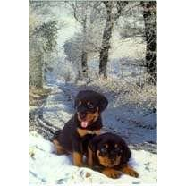Rottweiler Puppy Christmas Cards
