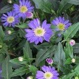 【多年草】【耐寒性】 ミヤコワスレ (都忘れ)  【花壇】【庭植え】