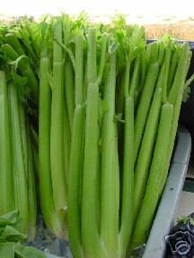 Celery Tall Utah Great Heirloom Vegetable ~ Bulk 10,000 Seeds