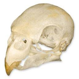 Parakeet Skull (Natural Bone Quality A)