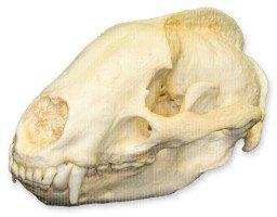 European Badger Skull (Teaching Quality Replica)