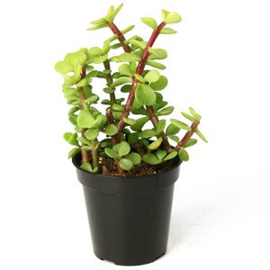 "Amazon.com : Portulacaria afra 3.5"" : Succulent Plants"