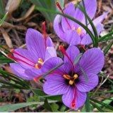 Rotteveel Bulb Saffron Crocus 10 Bulbs - Rare Spice - Fall Blooming - Crocus Sativus