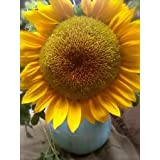 Organic Mammoth Russian Sunflower Seed (25ct) 8ft + ! Great eating USA Grown !