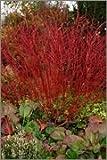 BM Plants Cornus alba 'Sibirica' AGM , 1L , Dogwood , Shrub