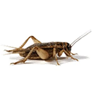 500ct Live Crickets, Large Adults, Live Pet Food