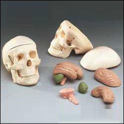Miniature Skull With Eight-Part Brain