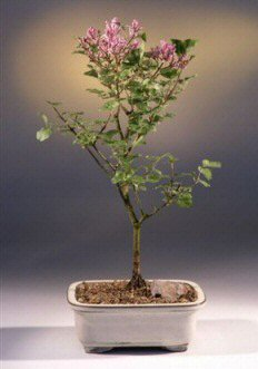 Buy Korean Lilac Bonsai Tree.(syringa palabiniana)