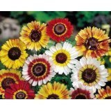 Painted Daisy Flower Seeds - 3,000 Seeds in Each Packet