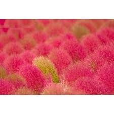 Grass Burning Bush Kochia Scoparia RED Flower Plant Exotic 10 Seeds