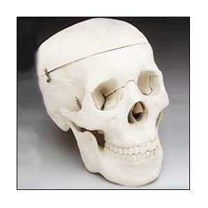 Halloween Budget Life-Size Human Skull - Fourth Quality (Item # CS204) from Anatomical Chart Company