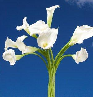 Mini Calla Lilies White 60 Flowers