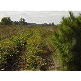 RED Oak Trees Quercus rubra 6-12