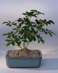 Buy Hawaiian Umbrella Bonsai Tree – In Lava Rock/Bonsai Pot .(arboricola schefflera luseanne).
