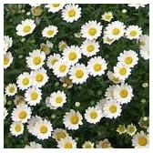【耐寒性】 ノースポール 3株セット 【花壇】【寄せ植え】