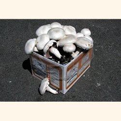 button mushroom box