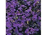 Aubretia Purple Cascade F1 Seeds by T and M