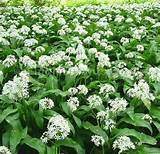 50 Wild Garlic bulbs, Ransoms, Allium Ursinum Free UK P&P