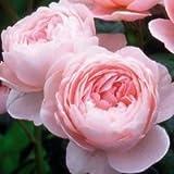 バラ大苗 イングリッシュローズ クイーン・オブ・スウェーデン大苗7号鉢(輸入苗) 四季咲き中輪 ピンク系 【09年2月中旬〜順次発送となります。】