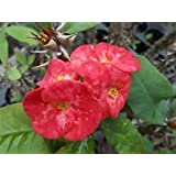 Euphorbia Milii Crown of Thorns CHERRIES JUBILEE LG BLOOM ROOTED CUTTING