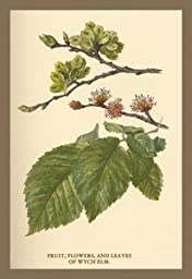 Paper poster printed on 20 x 30 stock. Fruit, Flower and Leaves from Wych Elm