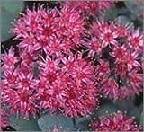 BM Plants Sedum cauticola 'Coca Cola' AGM , 1L , Stonecrop , Perennial