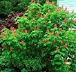 O'Neil Red Horsechestnut Shade Tree Shipped Potted in Soil