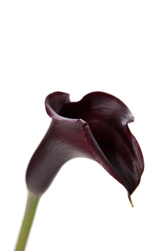 Dark Purple / Black Mini-Calla Lilies - 60 Stems