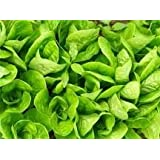 Butterhead Lettuce ~ Little Gem ~ 250 Seeds