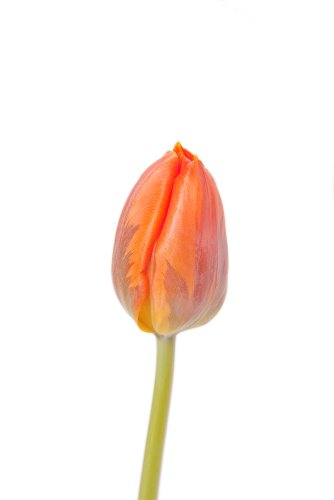 Orange and Red Bi-color Tulips - 40 Stems