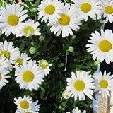 【耐寒性】【宿根草】 ハマギク  (浜菊)  2株セット 【グランドカバー】