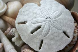 Sanddollar Real Arrowhead Sand Dollars Great for Wedding Favors or Placecards Crafting and Collecting Three 3