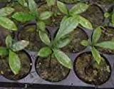 Miracle Fruit (Synsepalum Dulcificum) Seedling - Turns Sour to Sweet