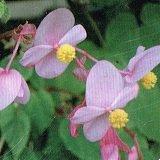 【多年草】【耐寒性】 シュウカイドウ 秋海棠 緑葉ピンク 2株セット 【コンテナガーデン】【ハンギング】