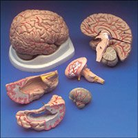 Budget Brain with Arteries Model from Anatomical