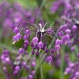 Just Seed Herb - Nodding Chives - allium cernuum - 50 seeds