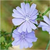 Chicory Wildflower Seeds,1/4 Pound, Over 100,000 seeds
